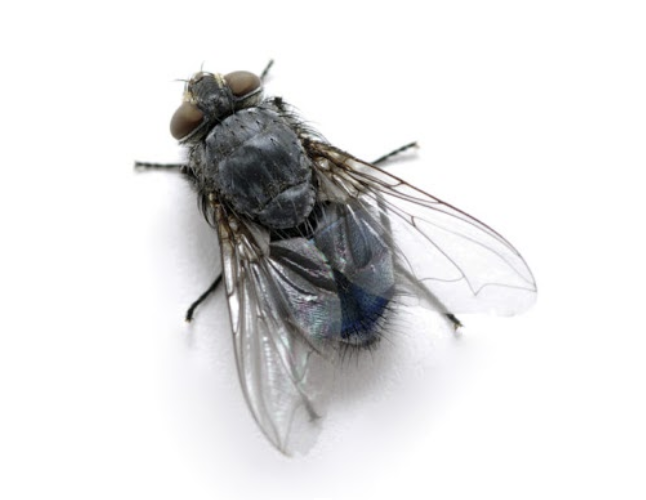 ASW-Pest-Control-Specialists_Trowbridge_Fly prevention cluster flies