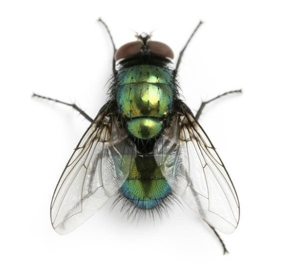 ASW-Pest-Control-Specialists_Trowbridge_Fly prevention greenbottle